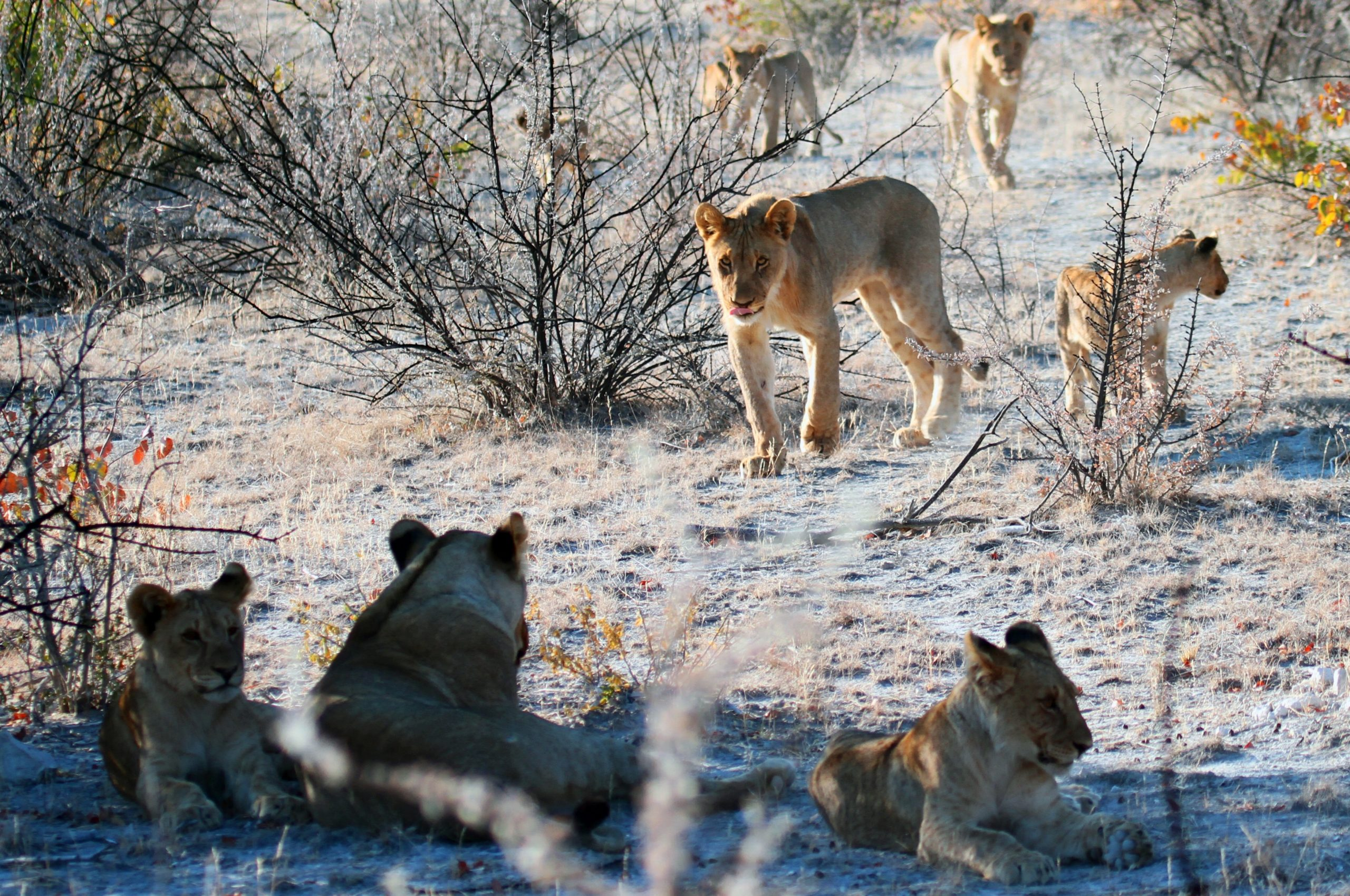 Lion Park: The Most Spectacular Reserves Of Africa